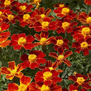 Outsidepride Tagetes Patula Disco Red French Marigold Flower Seed - 200 Seeds