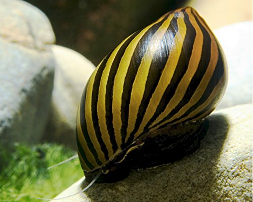 Garnelio - 5X Zebra Rennschnecke - Vittina coromandeliana