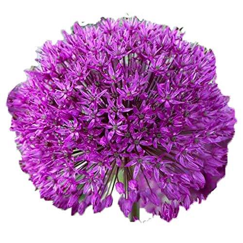 UtopiaSeeds 3 Purple Sensation Allium Bulbs - 4-6' Globe Shaped Flowers - Deer Resistant
