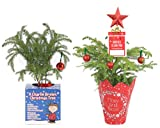 Costa Farms Live Charlie Brown Christmas Tree, 12-Inches Tall, Gift Combo, Fresh From Our Farm, 2-Pack