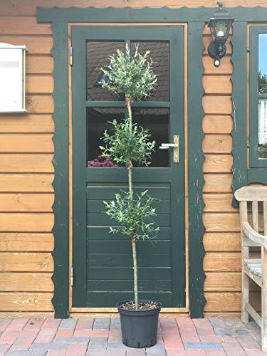 3 in 1 Salix Hakuro Nishiki Trio Baum japanische Harlekin Weide Stamm Stämmchen Besonderheit (3 Kugeln pro Stamm)