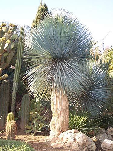 CROSO HOCH KEIMUNG Seeds Nicht NUR Pflanzen: Yucca Rostrata - 10 Frische -Beaked Yucca