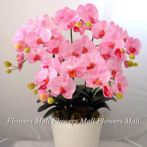 5 Hybrides hémérocalles Graines de fleurs Favoris de papillons et abeilles utiles Rich Aroma Bonsai