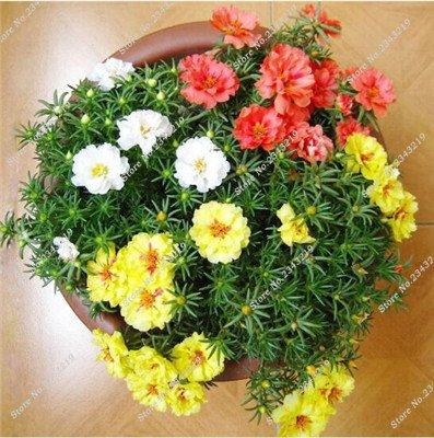 Portulaca Seed, Moss-rose Pourpier Plantes d'intérieur Fleurs doubles semences Balcon et cour Bonsai Seed en herbe Taux 95% 120 Pc 5