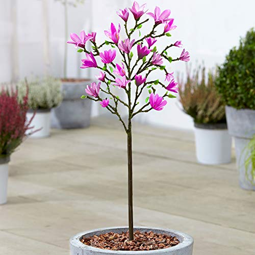 Magnolia 'Susan' Tree | Premium Potted Trees for Small Gardens Border Patio Plants | 2-3ft