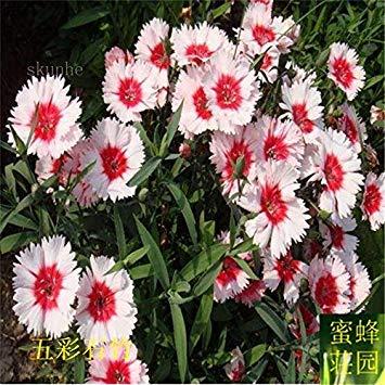 graines de carnation colorées graines de bambou brodé à bebaizhen bambou dix types de carnation américains environ 100 5