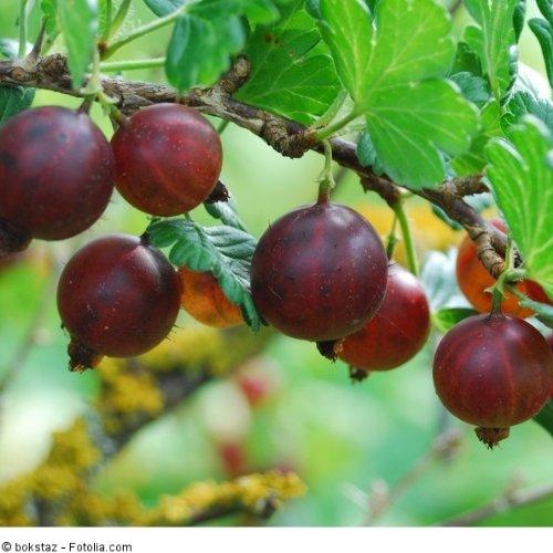Ribes uva-crispa 'Hinnonmäki rot' - (Stachelbeere 'Hinnonmäki rot')- Containerware 40-60 cm