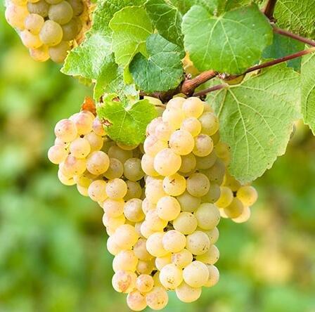 graines de gros Green Grape fruit doux et délicieux raisins de fructification bonsaïs Villa 100 graines/Pack 5
