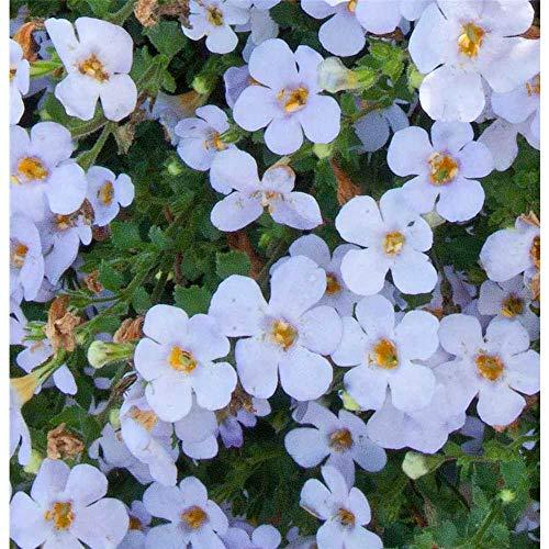 Bacopa, Sutera - Schneeflockenblume, blau - im Topf 11 cm, in Gärtnerqualität von Blumen Eber - 11 cm
