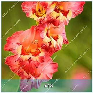 GEOPONICS Semillas: ZLKING 1 PC 15 tipos de bulbo gladiolo flor no Gladiolo fresco de alta germinación Tasa fácil de cultivar orquídeas Bonsai: 13