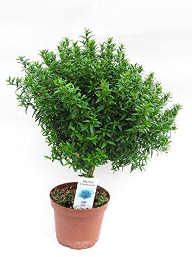 Braut - Myrte Myrtus communis, Brautmyrte Pflanze