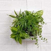 ミドリエデザイン 土を使わない 壁掛け 観葉植物 FRAME20Y テーブルヤシmodel (ホワイト)