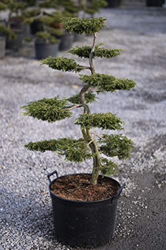 Bonsai, Formpflanze, Formschnitt, Juniperus 'Repanda' ca. 10 - 12 Jahre alt | Gartenbonsai |