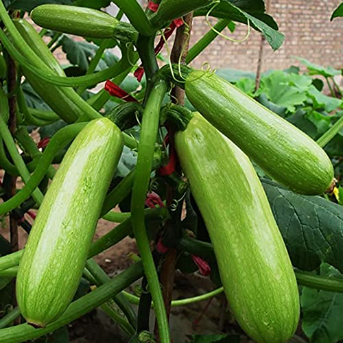 Somerway 30 Unids/Bolsa Semillas De Calabacín Calabacín, Semillas De Vegetales Frescos para Plantar, Semillas De Calabaza Bonsai Verde para Mujeres Niños Principiantes Semilla