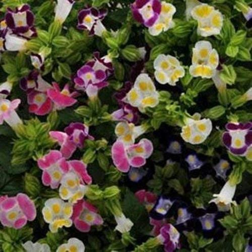 vegherb Frisch 4000 Seeds - Periwinkle Rose Bodendecker Seeds