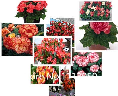 Vente! Livraison gratuite de 10 sortes Bonsai bégonia Seeds 100% d'origine biologique Graines Blooming Flower Garden plantes