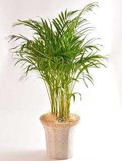 アレカヤシ 7号鉢 インテリアバスケット 観葉植物 インテリア グリーン