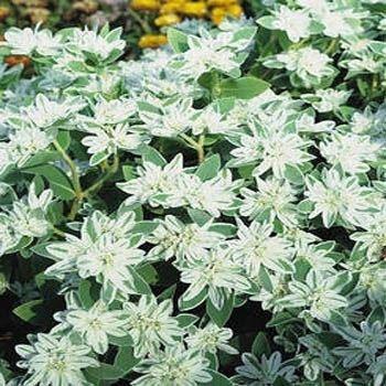 35 NEIGE SUR LA MONTAGNE Euphorbia marginata Graines de fleurs par Seedville