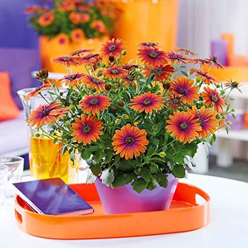 Yukio Samenhaus - Raritäten Kapkörbchen Purple Sun Insektennährpflanze Blütenteppich Blumensamen Mischung winterhart mehrjährig in Beet, Blumenkästen und -ampeln
