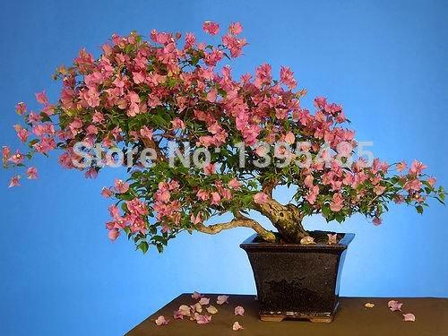 Avalez Palm Seed100% Véritable fraîches rares Graines de plantes Jade bonsaï Succulent fleurs Graines 100PCS