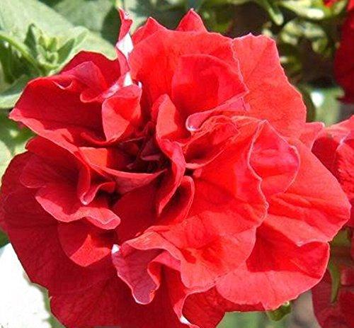 Graines de fleurs Double Pétunia Duo Lososevaya F1 (Petunia x hybrida) Fleurs annuelles