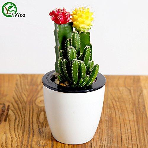 Balcon en pot Cactus Graines chinois Graines Bonsaï C'est 100% vrai Seed 30 pcs T022