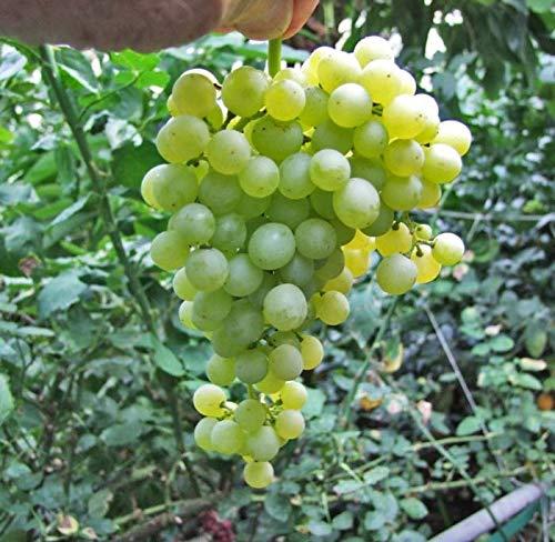 Thompson Seedless Grape Vine Plant, Sweet...