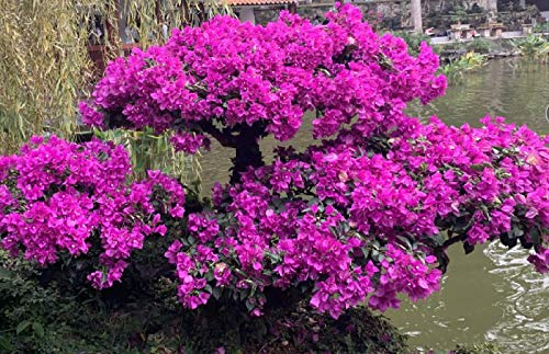 100pcs Rose Red Bougainvillea Seeds Flower Plant Perennial Garden Bonsai Potted
