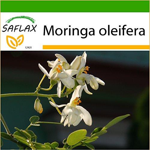 SAFLAX - Moringa - 10 Samen - Mit keimfreiem Anzuchtsubstrat - Moringa oleifera