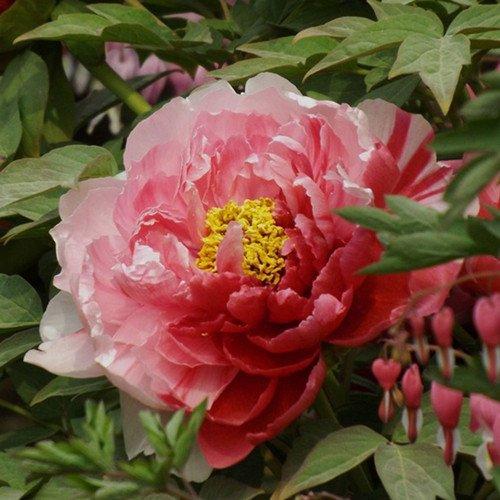10 pcs/sac graines de pivoines Terrasse Cour Jardin Paeonia Suffruticosa Graines de fleurs vivaces plantes en pot pour le jardin de la maison 21