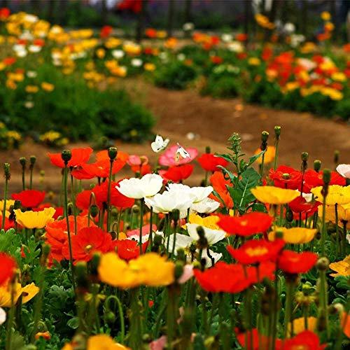 B/H winterhart Blumensamen,Steingarten & Staudenbeet,Doppelblumige Sonnenblumen-Topf-Dahlien-Dahlien-Samen-J_1000-Kapseln