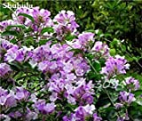 GEOPONICS 3: 50 pc/sacchetto rari semi Dipladenia sanderi semi Man sanderi Fiore esterna Bonsai Garden 3