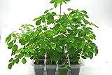 Moringa oleifera Grow kit: Open/Water/Enjoy.Organic Seeds & Soil Included. Makes a Great Gift!