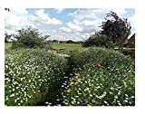 Traditionelle Wildblumen-Wiesen Samenmischung