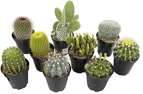 Succulents Cacti to Buy