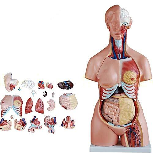 JN Modèle d'organes Humains 85 cm asexué Torse Anatomie du Corps Modèle A 23 Amovible d'organes Humains médical for l'étude des étudiants en médecine modèle d'organe médical