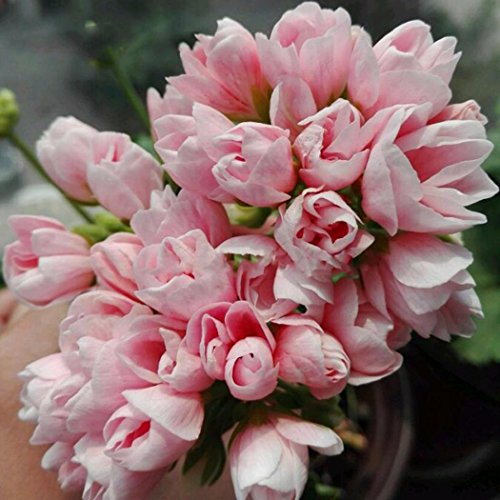 SummerRio 10 stücke Geranium Samen Pelargonium Hortorum Blumensamen Garten Topfpflanzen