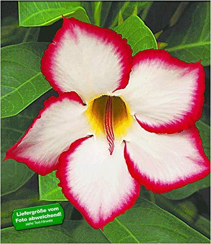 BALDUR Garten Wüstenrose 'Noble Concubine', 1 Pflanze Adenium obesum Zimmerpflanze