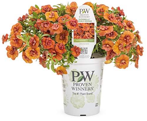 Proven Winners BELPRW5077524 SuperbellsDouble Calibrachoa Live Plant, 4-Pack, 4.25 in. Grande, Orange Flowers
