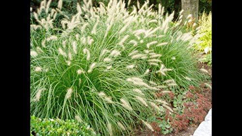 Hameln Dwarf Fountain Grass - 5 Live Plants in 6 Inch Pots - Pennisetum Alopecuroides Hameln- Herbaceous Ornamental Grass (5 Plants)