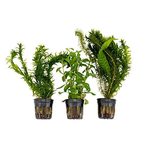 3x Wasserpflanzen Aquarium