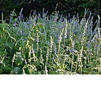 Keimfutter: 1.500 + Schwarz Chia Blume/Korn: Chia, Schwarz Frische Non GMO Hand Paketierung von Saatgut