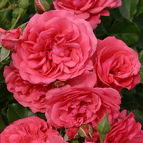 Kordes Rosen Rosarium Uetersen Strauchrose, kräftiges tiefrosa/spätersilbrigrosa, 12 x 12 x 40 cm