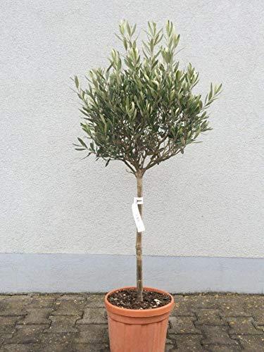 Palmenst. Echtpflanze, Olea Europaea - Olivenbaum - Höhe: ca. 80-100 cm, Umfang: ca. 5-6 cm (907910064)