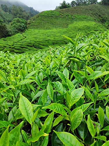 Echte Teepflanze ca. 30 cm 1 Pflanze - Camellia sinensis verschiedene Größen