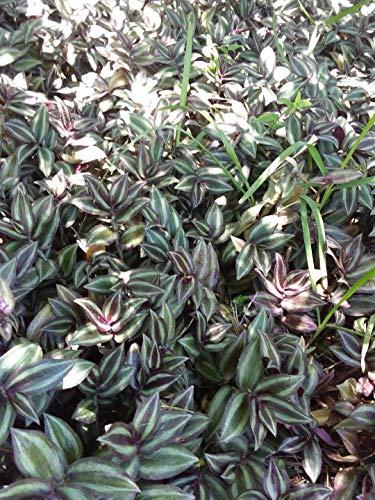 Ferry Pflanzen 10 wandernde Jude Zebrina Pendula Bodendecker Perennials Stecklinge Reben