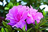 1 Gallon - Encore Azalea Autumn Carnation - Blooms in Spring Summer and Fall with Hot Pink Flowers -...