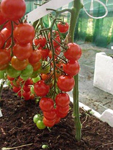 Magic Garden Seeds -  Chinesische rote