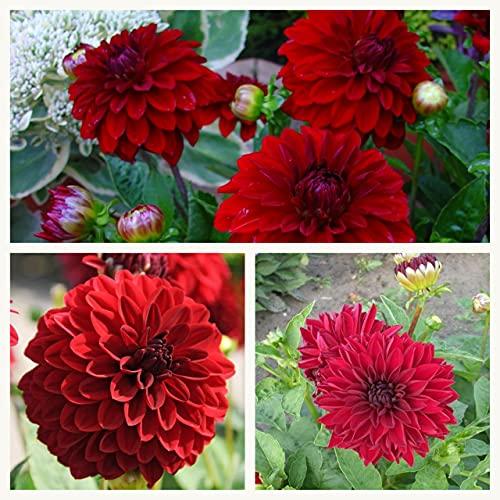 Dwarf Decorative Dahlia Melody Mambo Tubers. Dark Red Flowers. Grade I (1)