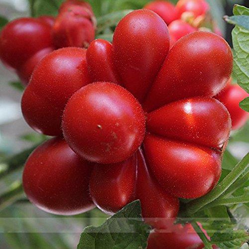 (Ungewöhnliche 100 * Ambizu *) Ungewöhnliche Rare Erbstück Reisetomate Tomate Lycopersicon Lycopersicum 100 Samen